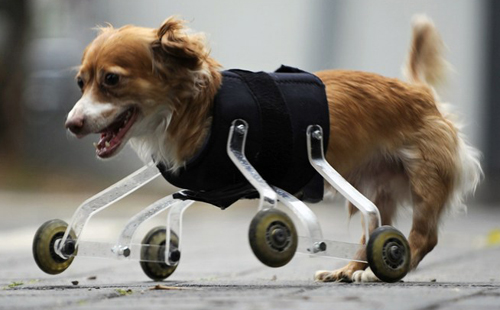 Hoppa, a mixed breed dog born without front legs, uses a prosthetic device to walk outside in Tel Aviv